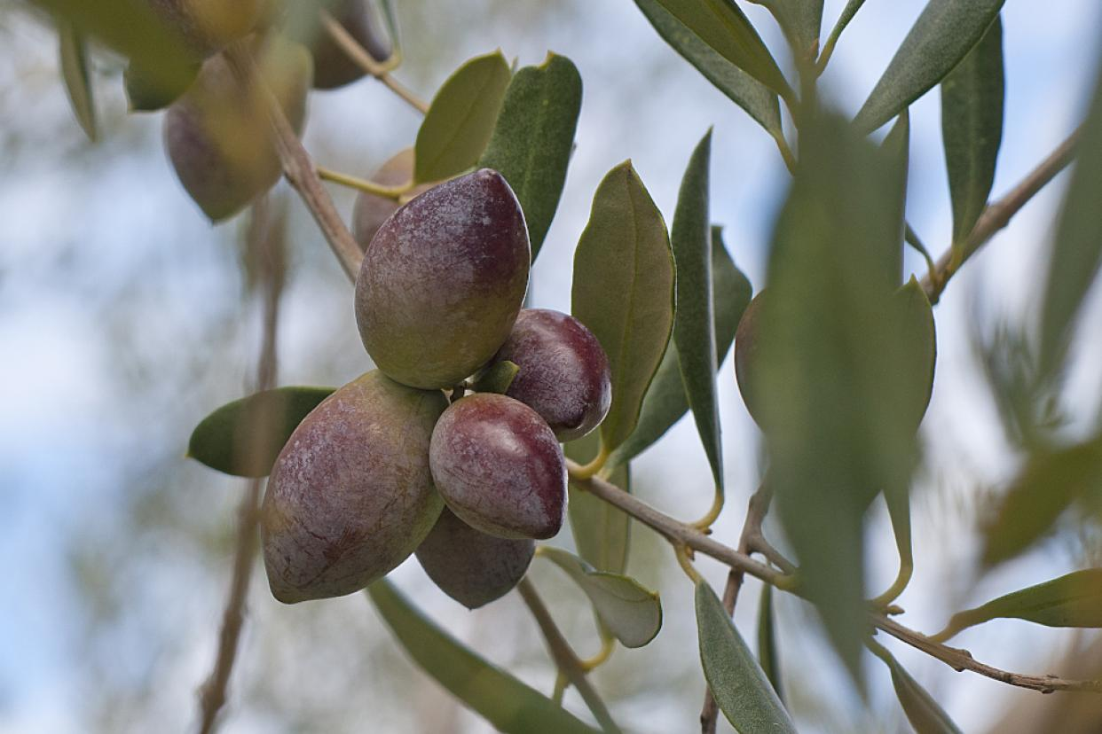 Olives almost ready for harvest