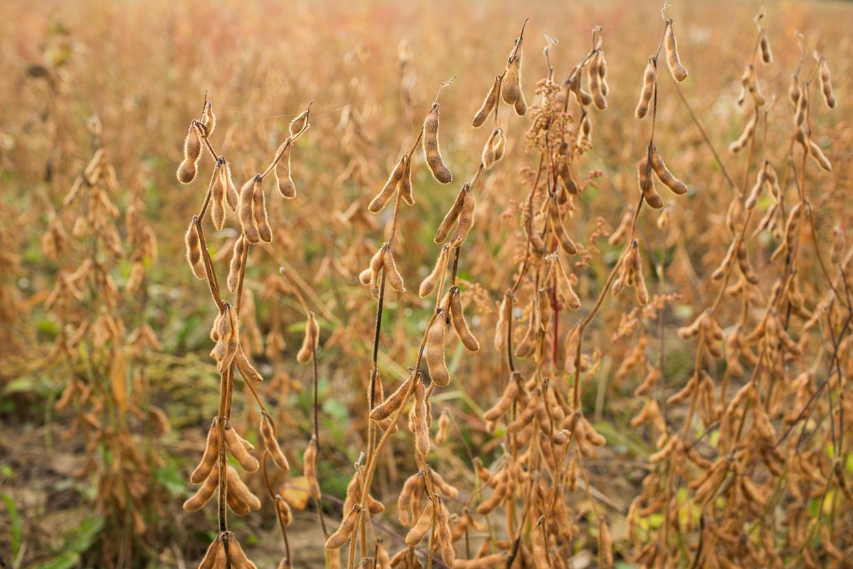 In late summer, soybean plants lose their leaves.